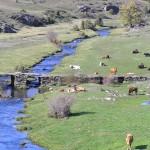 Vacas en el Hayedo de la Tejera Negra